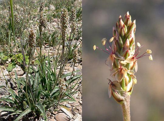 Flohsamenschalen (Plantago Psyllium): bewiesene Wirkung, Dosierung und Nebenwirkungen